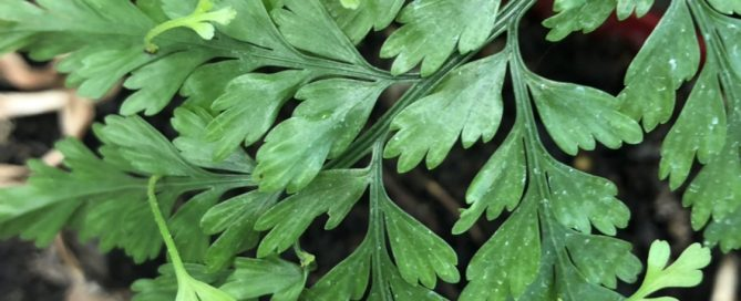 "Close-up image of the leaf of a hen and chicken fern, showing baby ""chicken"" ferns sprouting."