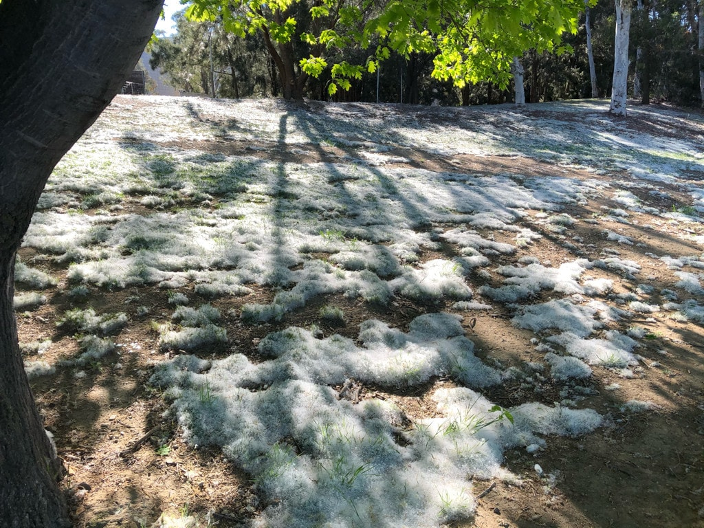 Piles of poplar seeds, piled up on the ground like snow drifts.
